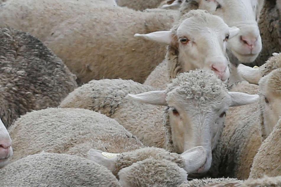 Eine Spaziergängerin fand acht Schafsleichen. (Symbolbild)