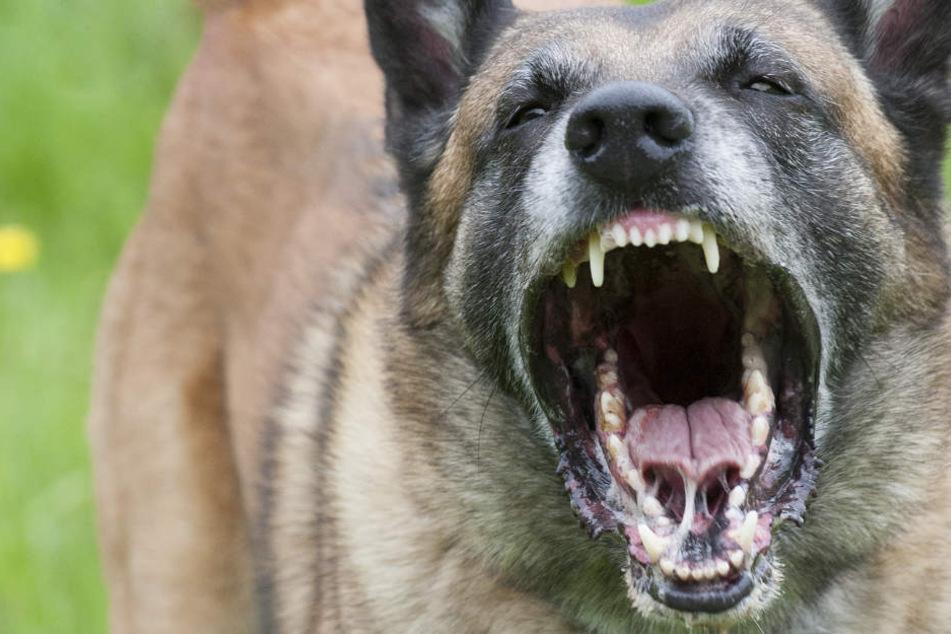 Auf einer außer kontrolle geratenen Feie rin Plochingen hat ein Polizeihund am Samstag einen aggressiven Partygast gebissen. (Symbolfoto)
