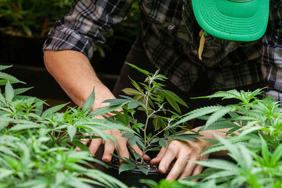 """Cannabis in Wald angebaut: """"Gärtner"""" muss in Knast"""