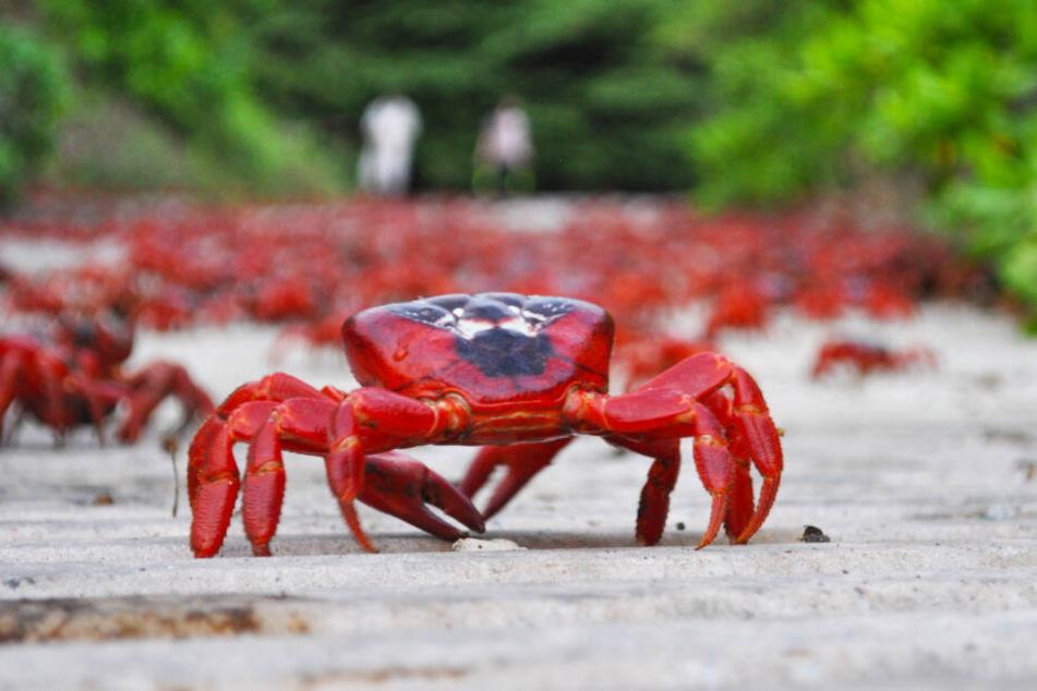Zahlreiche knallrote Tiere krabbeln derzeit auf Straßen und Wegen der Weihnachtsinsel im Indischen Ozean.