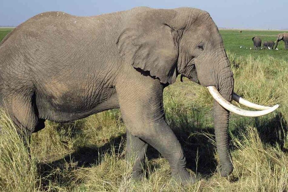 Der Elefant soll sich bedroht gefühlt haben (Symbolbild).