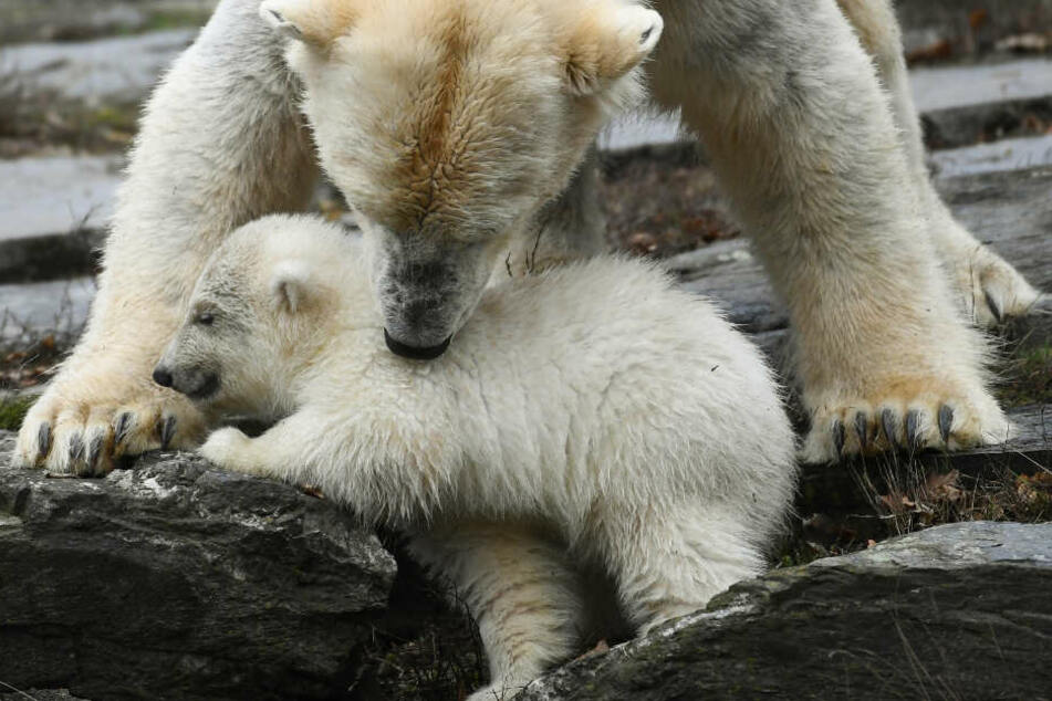 Mini-Eisbär hat seinen großen Publikumsauftritt