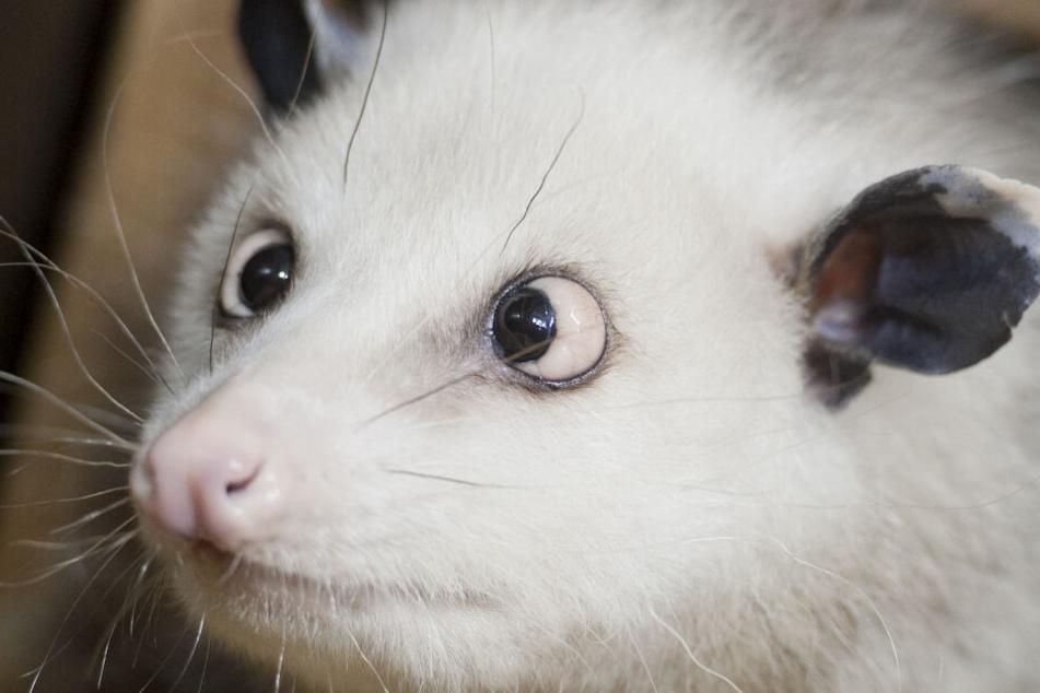 Da muss man einfach schmunzeln: Opossum Heidi bezauberte alle durch ihr starkes Schielen und ihre vorstehenden Augen.