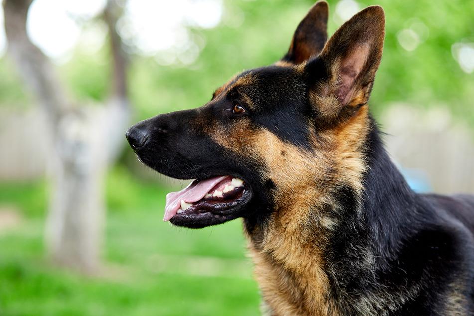 Ein schlauer Schäferhund ging in Siegburg scheinbar selbst Gassi und führte Polizisten zu einer versteckten Marihuana-Plantage. (Symbolfoto)
