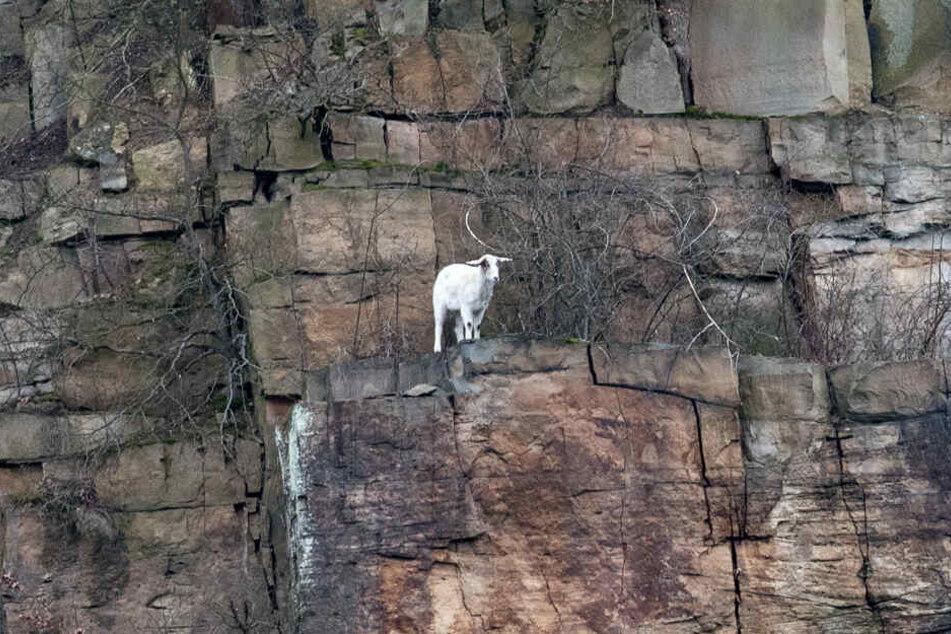 Eine Ziege steht im Grenzgebiet zwischen Nordrhein-Westfalen, Niedersachsen und Hessen in 80 Metern Höhe auf einem Felsen der Hannoverschen Klippen.