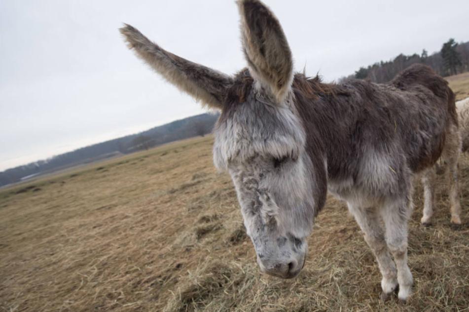 Wegen Eselstute Elisabeth (Foto) und weiteren Tieren droht einem Wirte-Paar ein Geldstrafe.