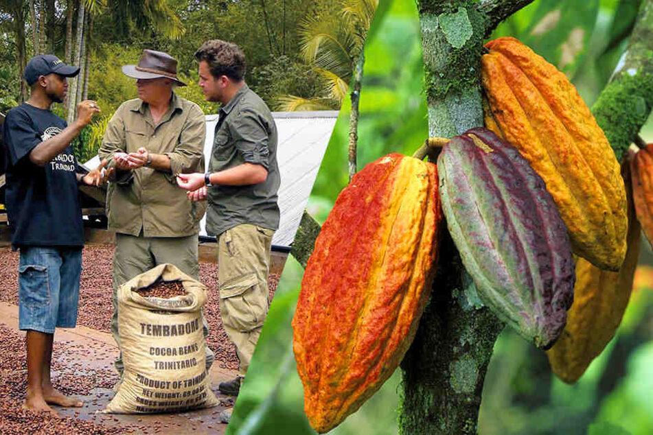 Bevor die Kakaobohnen verarbeitet werden können, müssen sie fermentieren. Außerhalb des Labors geschieht das unter freiem Himmel.