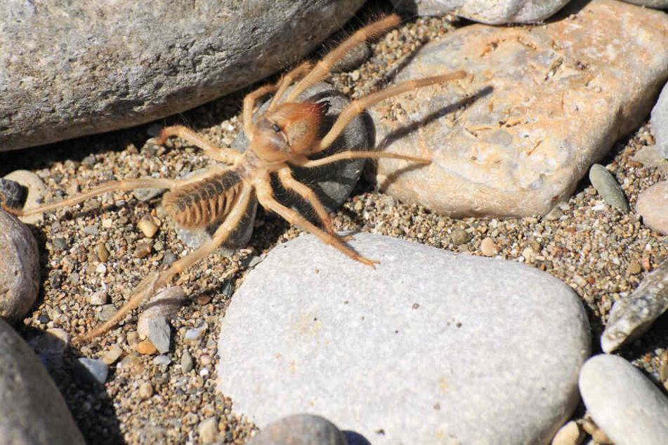 """""""gofundme""""-User vermuten, dass es sich um den Biss einer Kamel-Spinne handelt."""