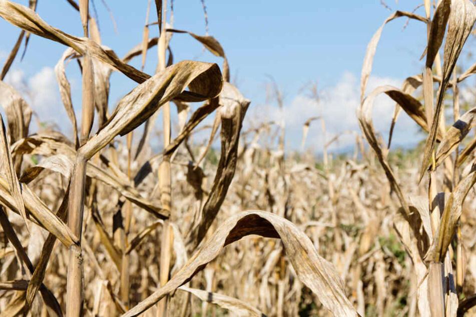 Aufgrund der Dürreperiode mussten die Bauern hohe Ernteeinbußen hinnehmen. (Symbolbild)