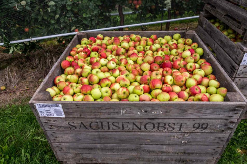 Über 40000 Tonnen Äpfel kommen jährlich von Sachsenobst. Die Aktiengesellschaft hat  sich am Markt durchgesetzt.