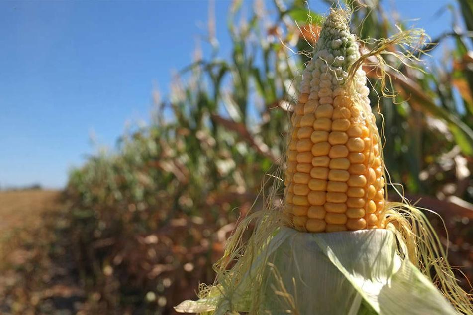 Auf einem Thüringer Feld wurden Stahlnägel in Maiskolben gesteckt. Ein Schaden von rund 100. 000 Euro entstand.