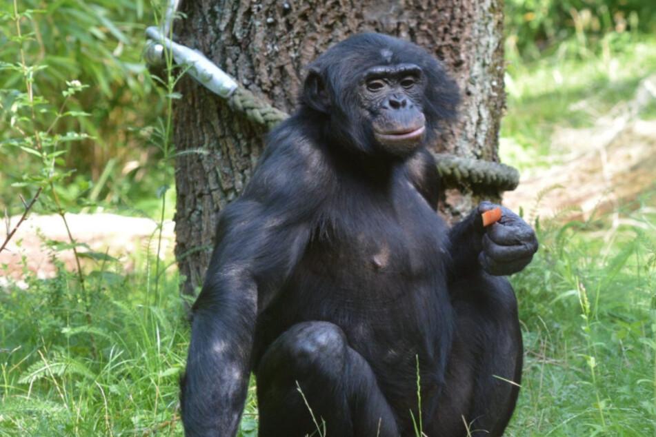 Schwer verletzt: Bonobo-Affe nach Bissen von Artgenossen eingeschläfert