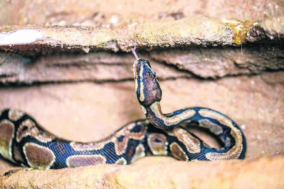 Die Schlange wurde bei einer Wohnungsräumung gefunden.