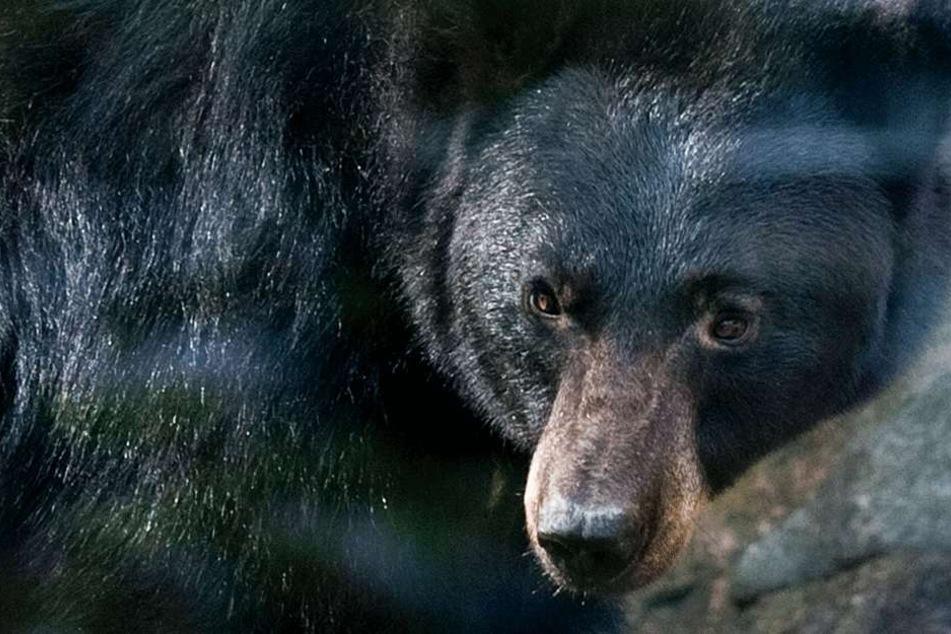 In den USA wurde ein 19-Jähriger im Schlaf von einem Bären angegriffen. (Symbolbild).