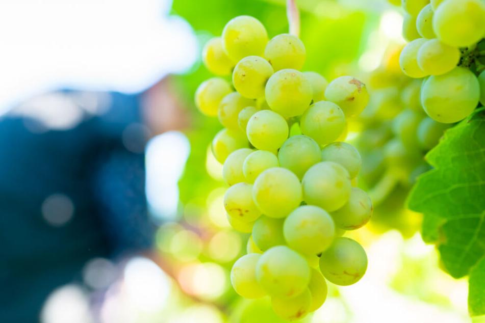 Hängende Trauben: Trotz der Hitze wird meist guter Wein erwartet. (Symbolbild)