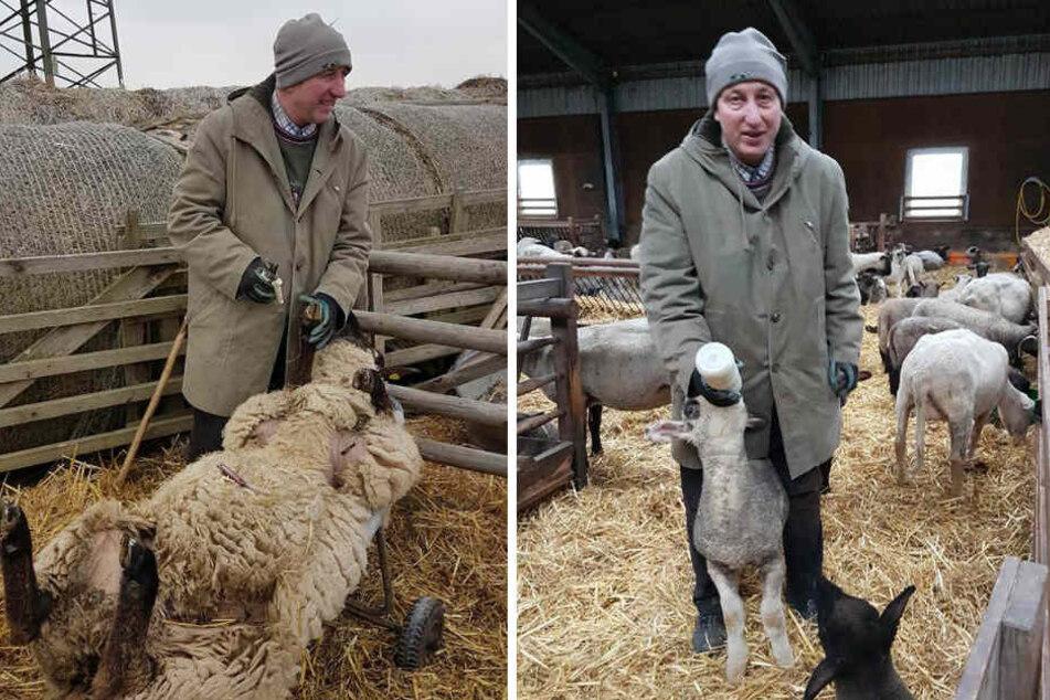 Auch zu Ostern gibt es für Schäfer Heinrich viel zu tun. Liebevoll kümmert er sich nicht nur um den Nachwuchs.