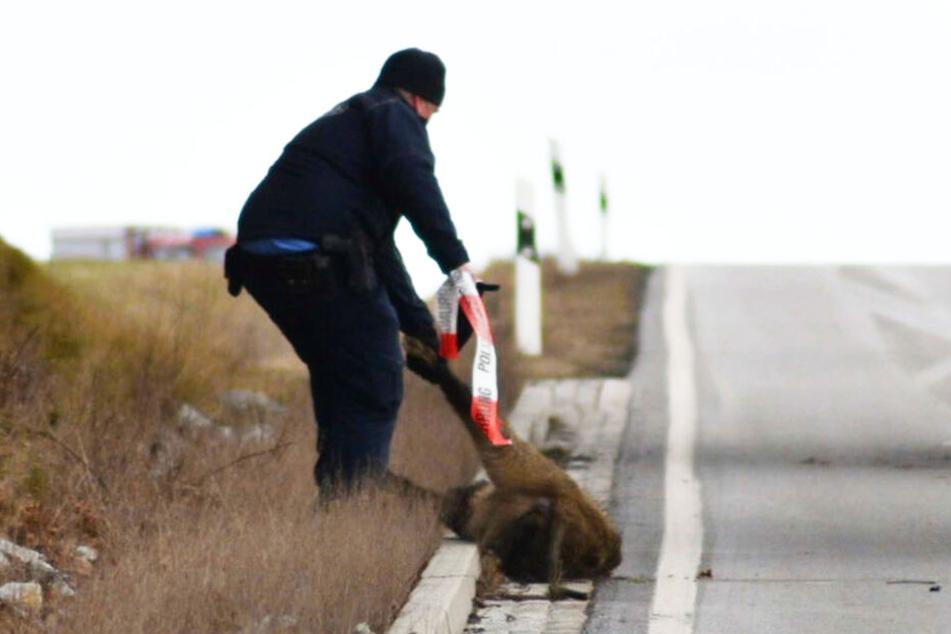 Das tote Wildschein wurde von Polizisten von der Straße entfernt.
