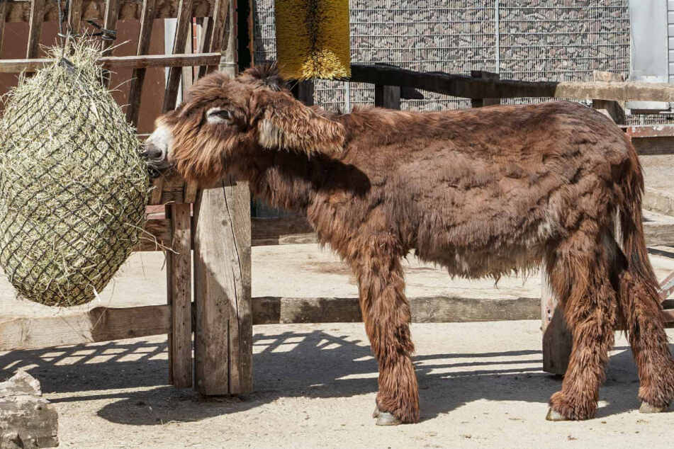 Kölner Zoo bekommt zottelige Esel-Familie!