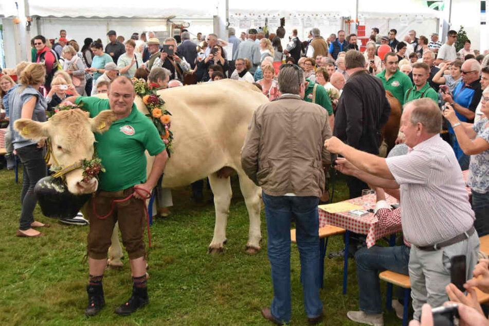 Kurz vor dem Vorfall im September: Diese Kuh flippte kurz später vor dem Festzelt aus.