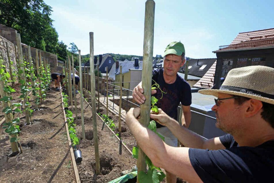 Die frisch gepflanzten Reben wurden an einzelne Pflöcke gebunden.