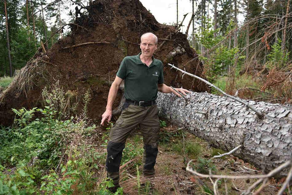 Forstdirektor Heiko Müller (53) neben einer Fichte, die Anfang des Jahres vom Sturm umgerissen wurde.