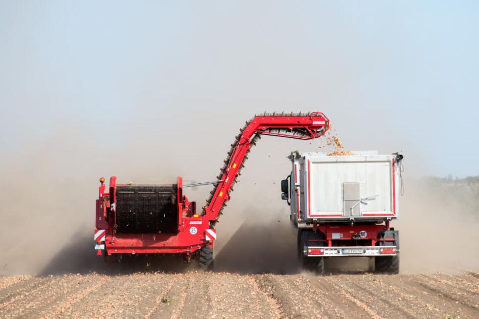 Der Boden ist so trocken, dass man im dichten Staubdunst die Erntefahrzeuge kaum sehen kann.