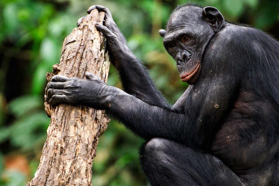 Frankfurter Zoo - Affenmutter trennt sich von totem Jungtier