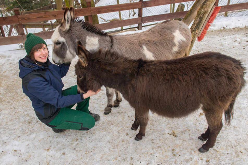 Tierpflegerin Patrizia Weidlich schmust mit den beiden Mini-Eseldamen Amy  (hinten) und Neuzugang Sophy.