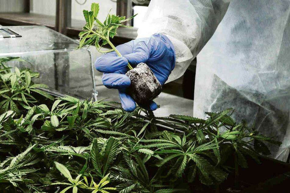 Cannabis lässt sich anpflanzen wie Möhren oder Petersilie - ist aber etwas umstrittener.
