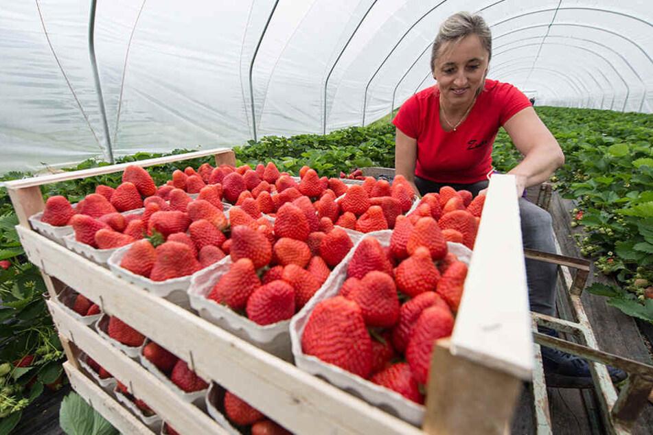 Die polnische Erntehelferin Josepha erntet in einem Folientunnel Erdbeeren. Auf Grund des Frostes der vergangenen Woche verzögert sich die Freilandernte.