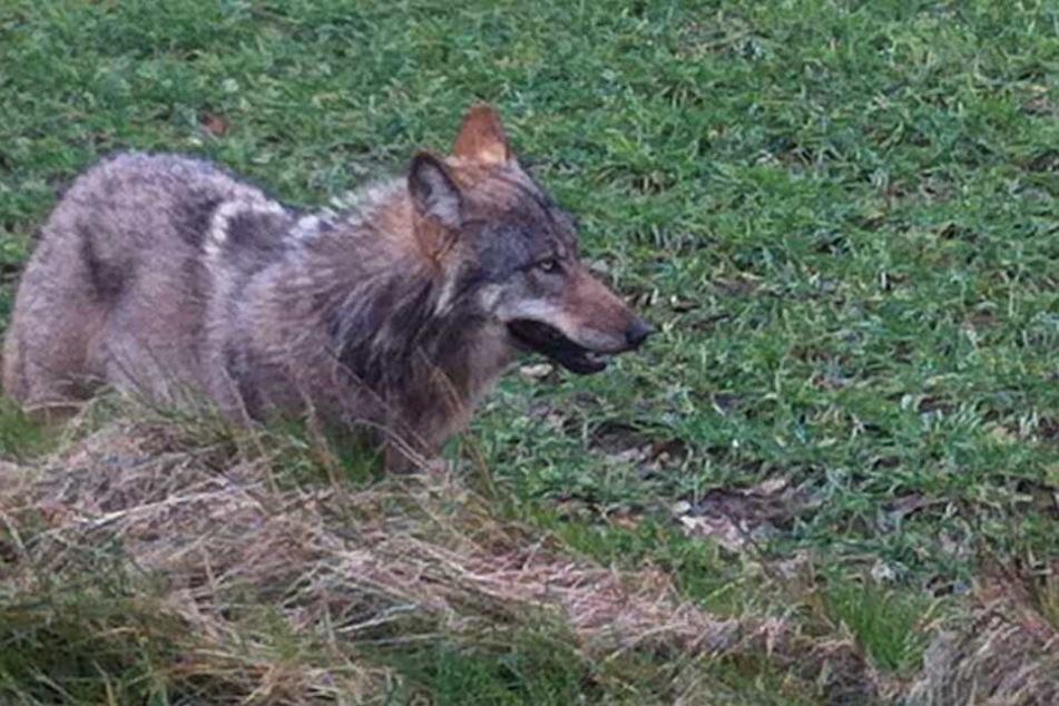 Weil der Wolf mehrere Tiere tötete, soll der Problemwolf erschossen werden.