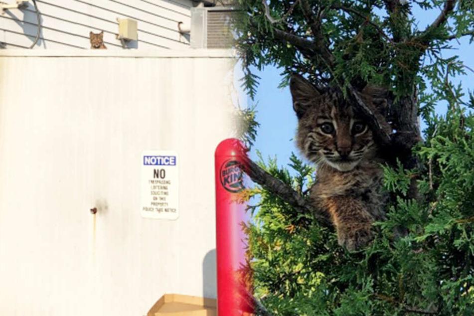 Das Kätzchen, das keines war, lugte vom Burger King und rettete sich zwischenzeitlich auf einen Baum.