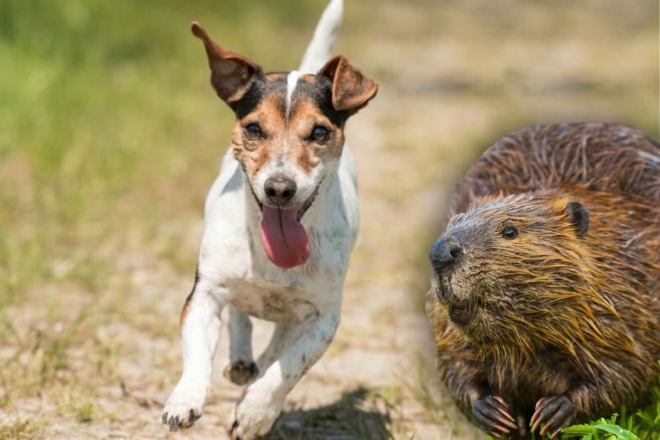 Beim Spaziergang: Biberratte greift Hund an und tötet ihn!