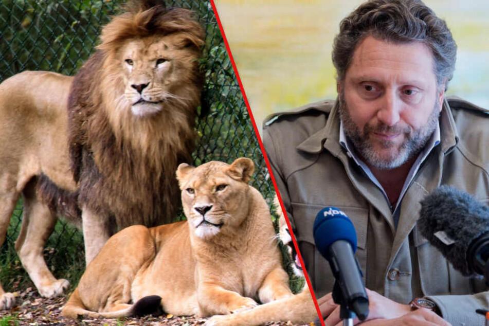 """""""Haben mehrmals zugebissen"""": Das steckt hinter dem Löwen-Angriff im Serengeti-Park"""