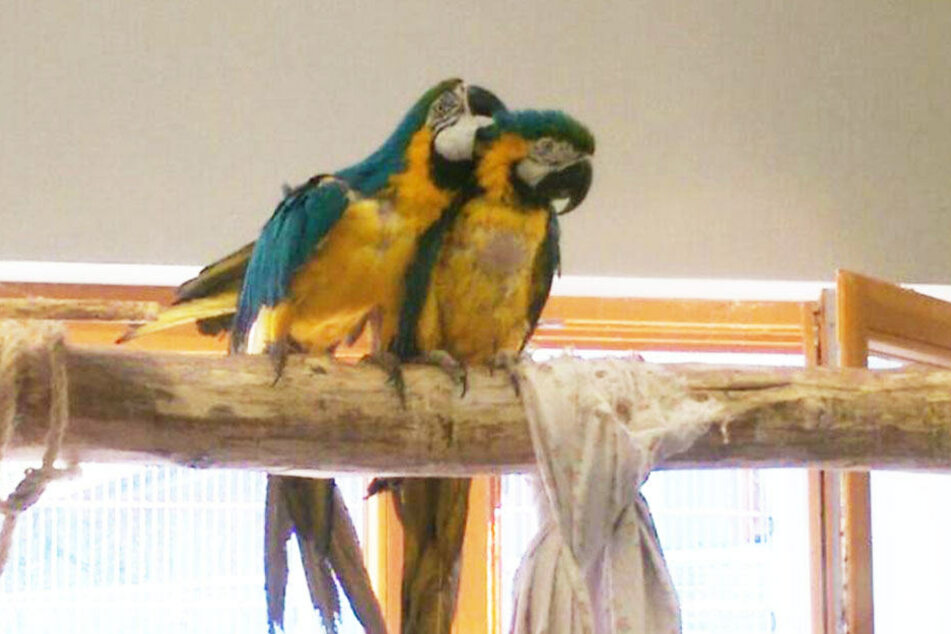 Gelbbrustara-Pärchen Coco und Cora kamen aus schlechter Haltung und fast ohne Gefieder. Das Tierheim gibt sie nur im Doppelpack ab.