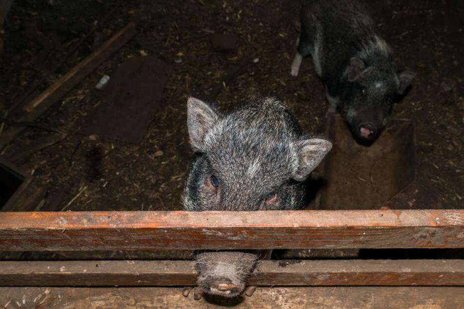 Die 24-Jährige wurde im Schweinestall festgehalten. (Symbolbild)