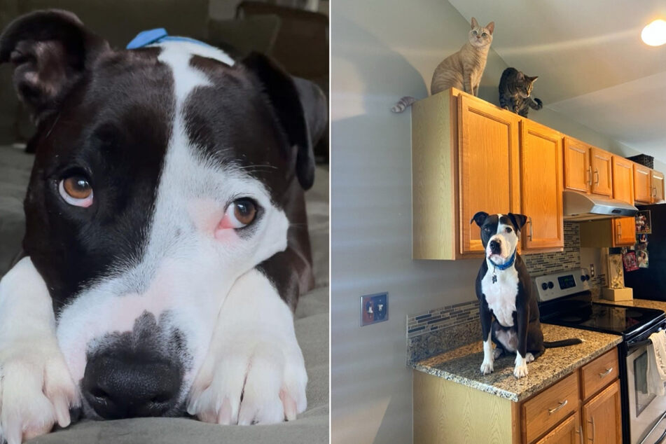 Adorable pit bull hangs out with cats and thinks he's one of them!