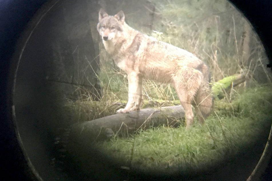 In diesem Jahr gab es insgesamt 19 Wolfsangriffe. (Symbolbild)