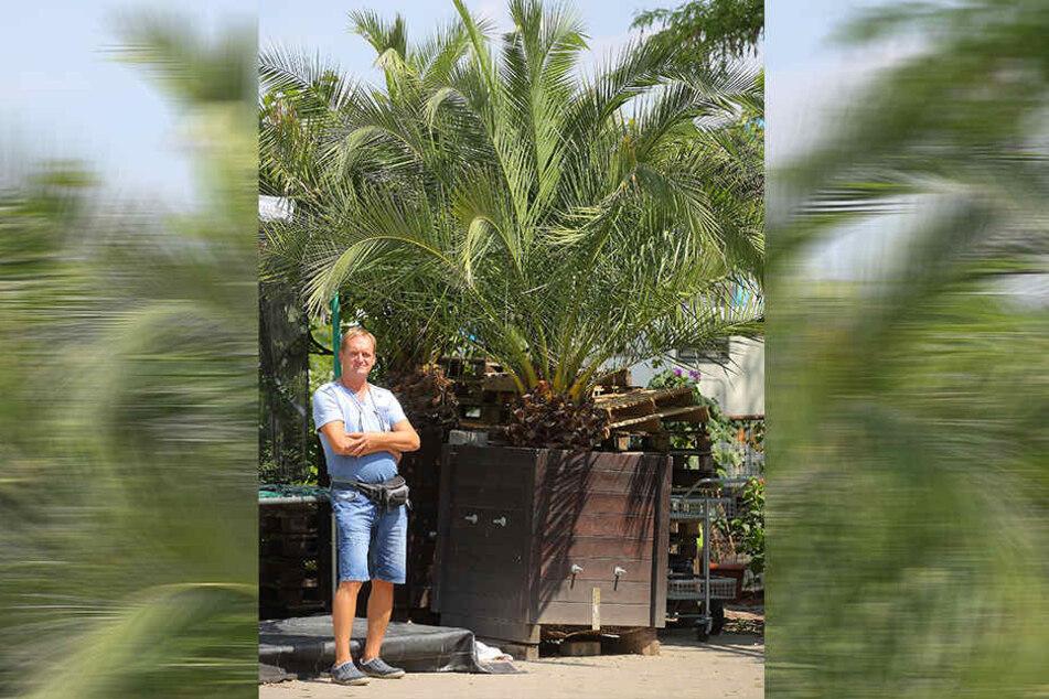 Die riesigen Palmen werden nicht abgeholt.