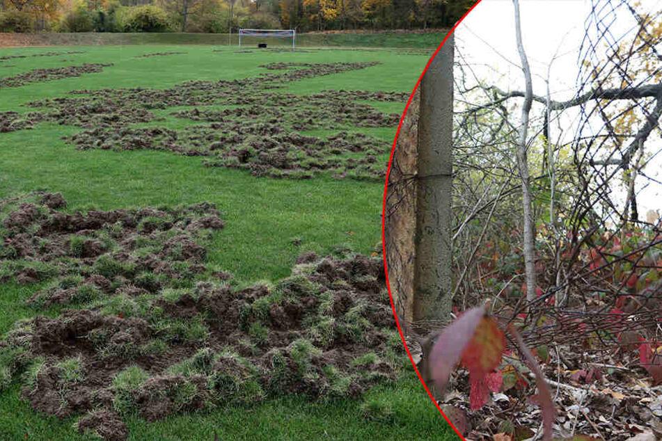 Wildschweine verwüsten Sportplatz: Kommen die Tiere durch dieses Loch auf den Rasen?