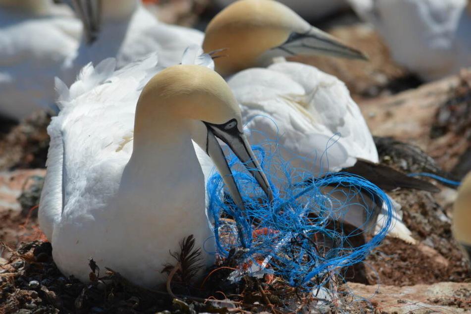 Der Plastikmüll wird für die Vogelwelt auf Deutschlands einziger Hochseeinsel Helgoland scheinbar immer problematischer und wird deshalb wissenschaftlich untersucht.