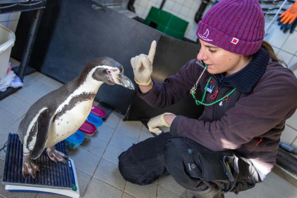 Biologin Helen Rößler bereitet einen Humboldtpinguin mit dem Wiegen für einen wissenschaftlichen Hörtest vor.