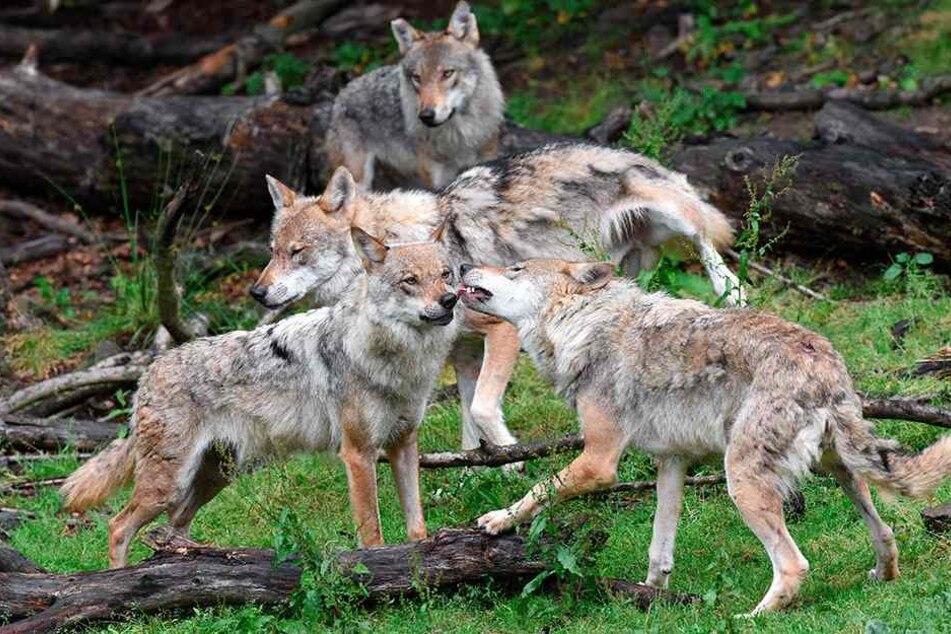 Müssen künftig an der Landesgrenze aufpassen: Wölfe in Sachsen.