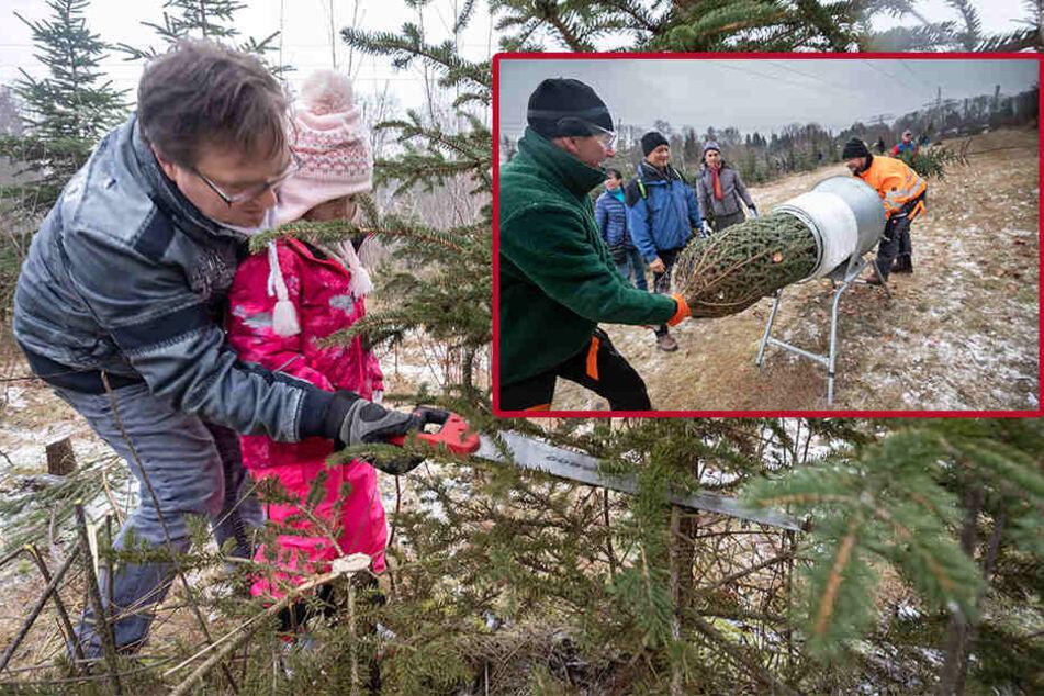 Weihnachtsbäume gefällt: Chemnitzer setzen die Säge an