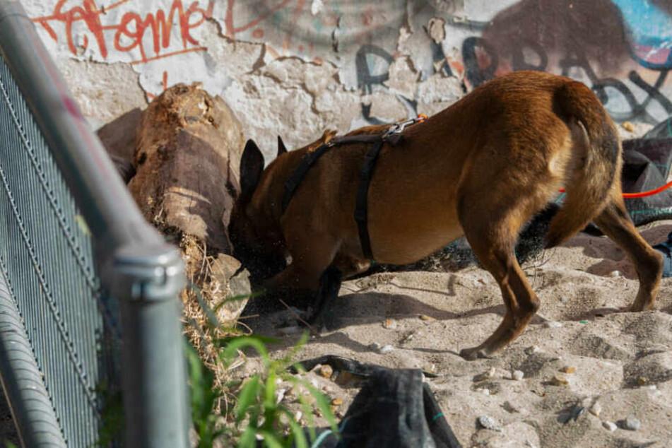Ein Spürhund der Polizei auf der Suche nach Drogen.