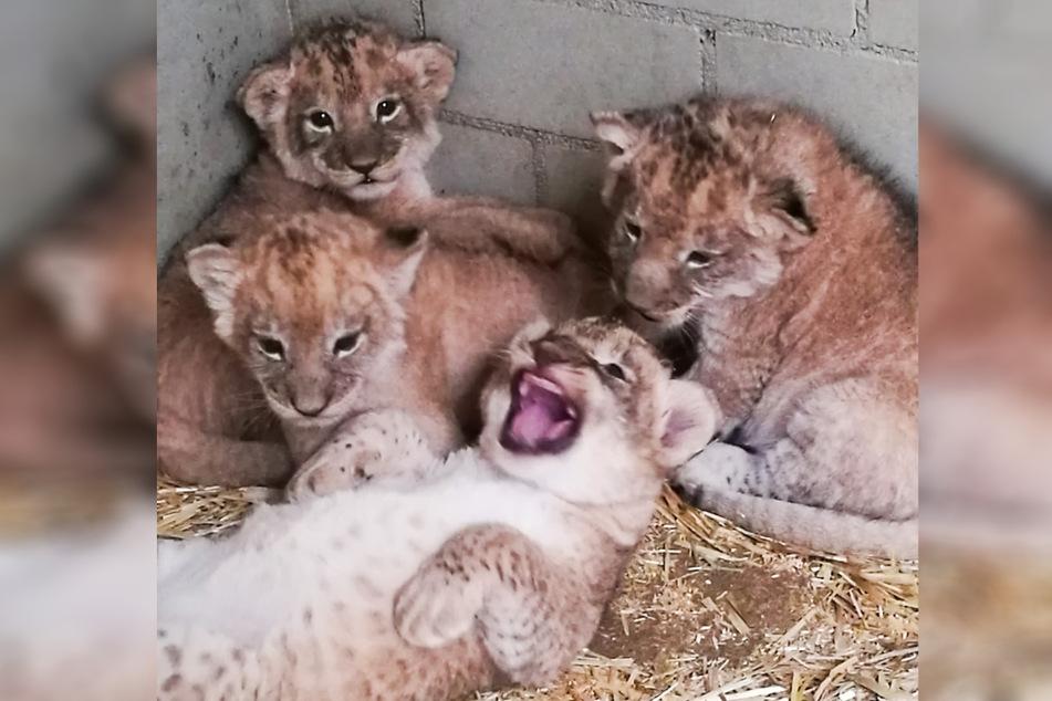 Die vier haben ihre ersten Wochen genutzt, um bereits zu richtigen Junglöwen heranzuwachsen.