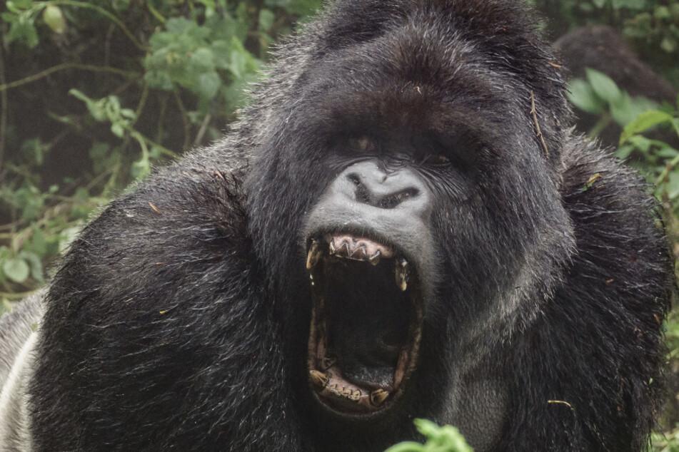 Der Gorilla ging äußerst brutal vor (Symbolbild).