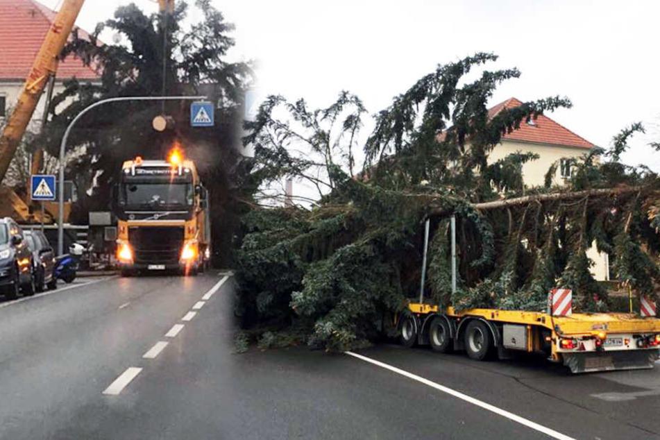 Der Baum zerbrach beim Transport.