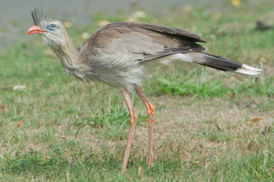 So sehen die Terrorvögel ausgewachsen aus.