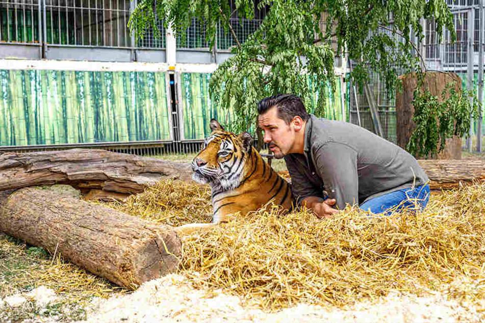 Insgesamt bringt Tiertrainer Tom Dieck (35) acht Raubkatzen mit, darunter auch diesen Bengaltiger.